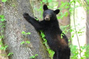 bear cub in cades cove