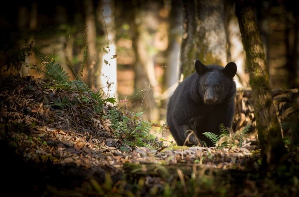 Great-Smoky-Mountain-black-bear