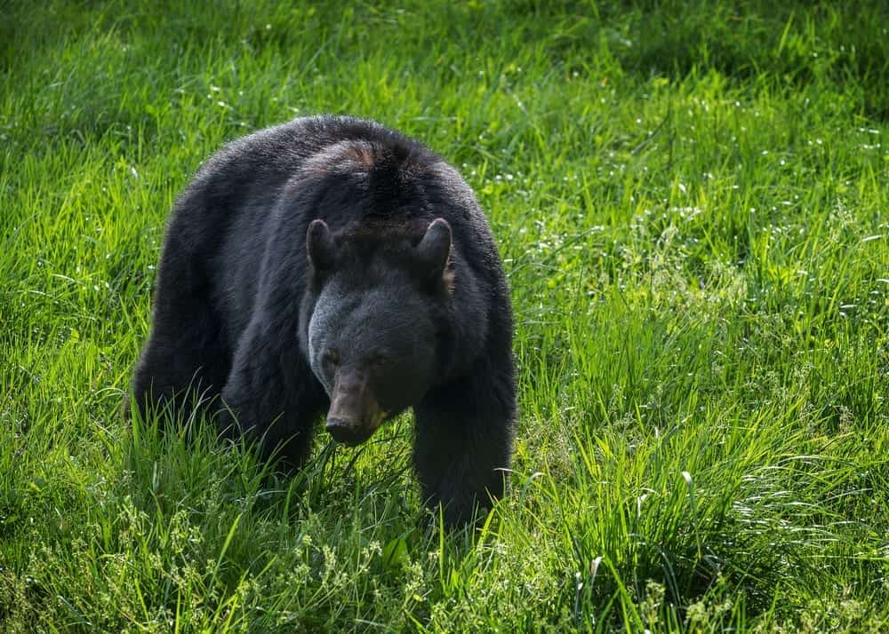 black bear in the smoky mountains