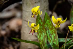 Trout Lily Wildflower